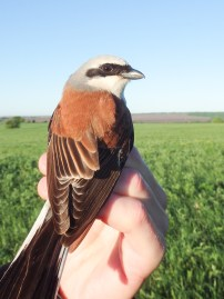 Red-backed Shrike (Lanius collurio, Pie-grièche écorcheur)